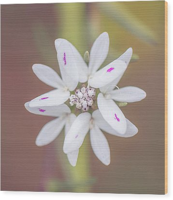 Wood Print featuring the photograph Osmadenia Tenella by Alexander Kunz