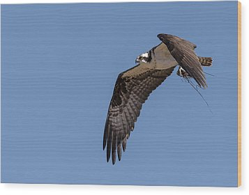 Osprey 2017-1 Wood Print by Thomas Young