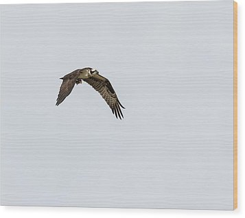 Osprey 2017-2 Wood Print by Thomas Young