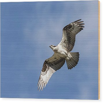 Osprey 2017-3 Wood Print by Thomas Young