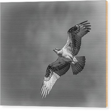 Osprey 2017-4 Wood Print by Thomas Young