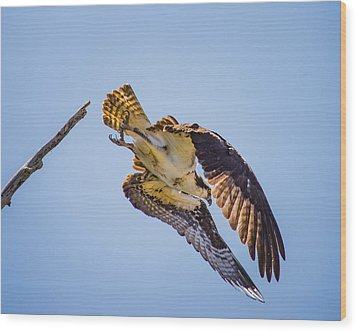 Osprey Dive Wood Print