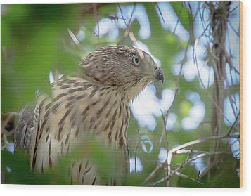 Red-shouldered Hawk Fledgling 1 Wood Print