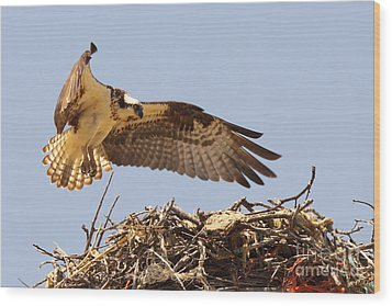 Wood Print featuring the photograph Osprey Hovering Above Nest by Max Allen