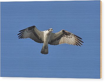 Osprey In Flight 1 Wood Print by Gerald Hiam