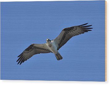 Osprey In Flight 2 Wood Print by Gerald Hiam