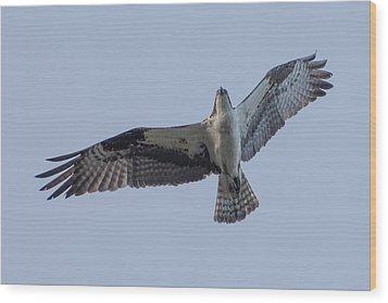 Osprey Wood Print by Keith Boone