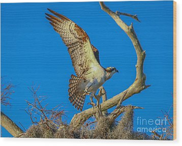 Osprey Landing On Branch Wood Print by Tom Claud
