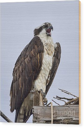 Wood Print featuring the photograph Osprey On Its Perch by Eddie Yerkish