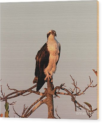 Osprey On The Caloosahatchee River In Florida Wood Print by Louise Heusinkveld