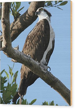 Wood Print featuring the photograph Osprey - Perched by Jerry Battle