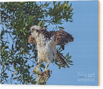 Osprey With Meal Wood Print