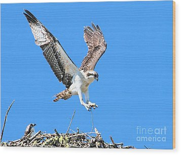 Ospreys Learning To Fly Wood Print