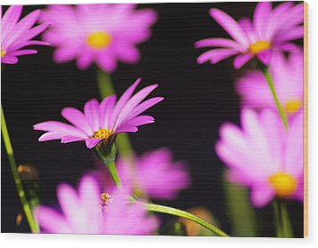 Osteospermum Wood Print by Iain MacVinish