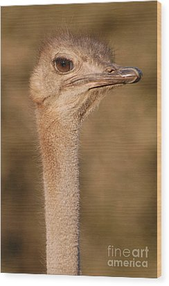 Ostrich Head Wood Print by Andy Smy