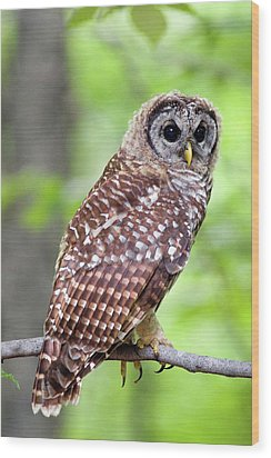 Owl On The Prowl Wood Print by Timothy McIntyre