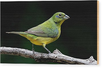 Painted Bunting - Second Year Male Wood Print