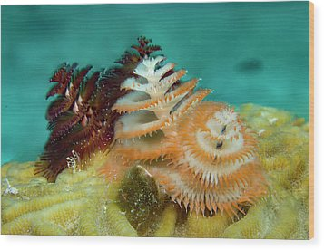 Wood Print featuring the photograph Pair Of Christmas Tree Worms by Jean Noren