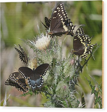 Palamedes Swallowtail Butterfly Wood Print