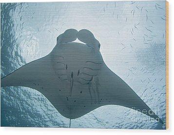 Palau, Manta Ray Wood Print by Dave Fleetham - Printscapes