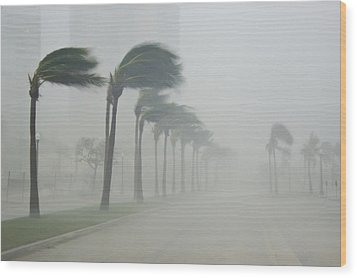 Palms Blow In 100 Mile-per-hour Winds Wood Print by Mike Theiss