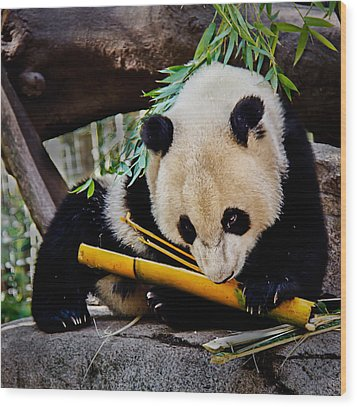Panda Bear Wood Print by Robert Bales
