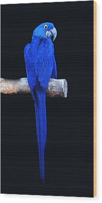 Parrot Perfection Wood Print by DiDi Higginbotham