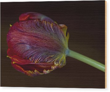 Parrot Tulip 12 Wood Print by Robert Ullmann