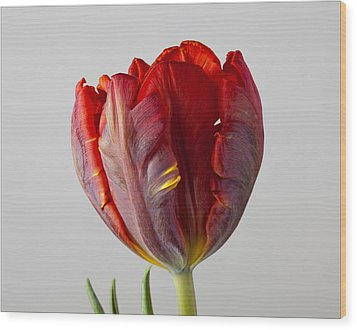 Parrot Tulip 3 Wood Print by Robert Ullmann