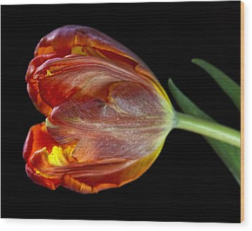 Parrot Tulip 6 Wood Print by Robert Ullmann