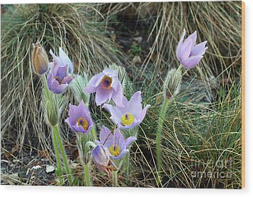 Wood Print featuring the photograph Pasqueflower by Michal Boubin