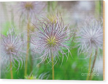 Wood Print featuring the photograph  Pasqueflower Seed Heads by Tim Gainey