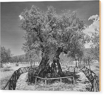 Patriarch Olive Tree Wood Print by Alan Toepfer