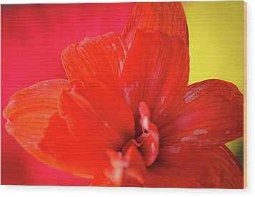 Peach Melba Red Amaryllis Flower On Raspberry Ripple Pink And Yellow Background Wood Print by Andy Smy