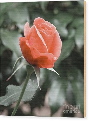 Peachy Rose Wood Print by Rand Herron