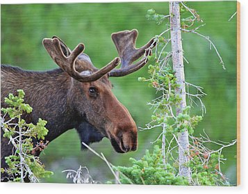 Wood Print featuring the photograph Peaking Moose by Scott Mahon