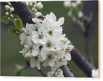 Wood Print featuring the photograph Pear Blossoms In Spring by Sheila Brown