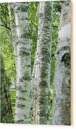 Peek A Boo Birch Wood Print by Greg Fortier