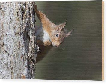 Peekaboo - Red Squirrel #29 Wood Print
