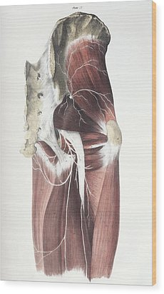 Pelvic Spinal Nerves Wood Print by Sheila Terry