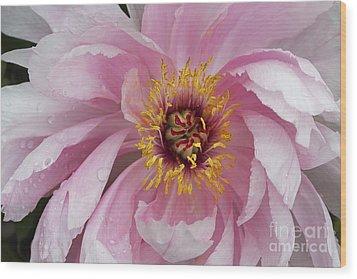 Peonie In Pink Wood Print by Deborah Benoit