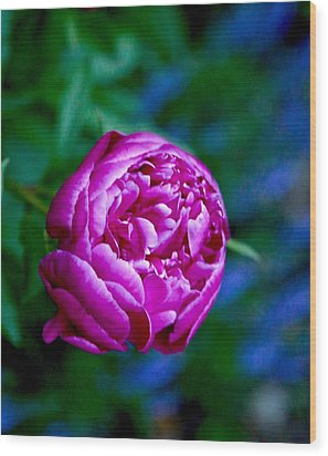 Peony Bloom Wood Print by Gillis Cone