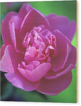 Peony In Pink Wood Print by Kathy Yates
