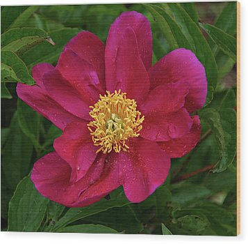 Wood Print featuring the photograph Peony In Rain by Sandy Keeton