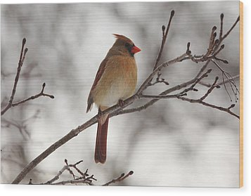Perched Female Red Cardinal Wood Print by Debbie Oppermann