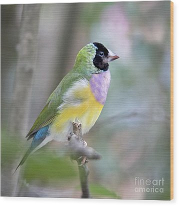Perched Gouldian Finch Wood Print by Glennis Siverson
