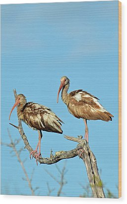 Perched White Ibises Wood Print by Bruce Gourley