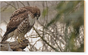 Perching Red Tail Hawk Wood Print