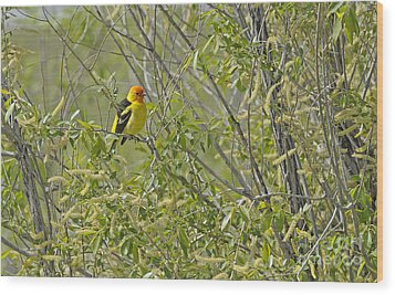 Perching Tanager Wood Print by Dennis Hammer