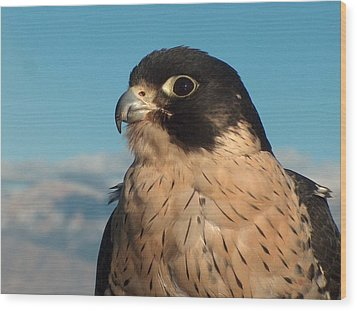 Peregrine Falcon Wood Print by Tim McCarthy